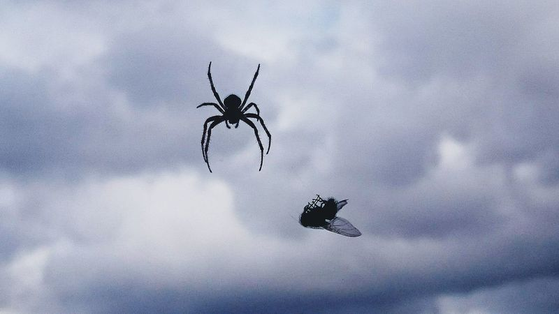 Spiders dinner time. Flying Cloud - Sky Animal Wildlife Bird Mid-air Animals In The Wild Sky Day No People Outdoors Animal Themes Airshow Spread Wings Vulture Bird Of Prey