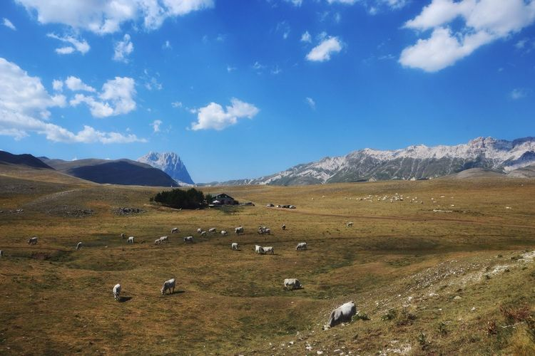 Abruzzo Italy Highlands Flock Of Cows Mountain Large Group Of Animals Sheep Nature Animal Themes Livestock Landscape Sky Cloud - Sky Domestic Animals No People Beauty In Nature Scenics Day Mountain Range Field Grass Grazing Mammal