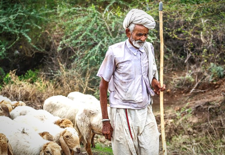 A old man standing on field looking at  sheeps