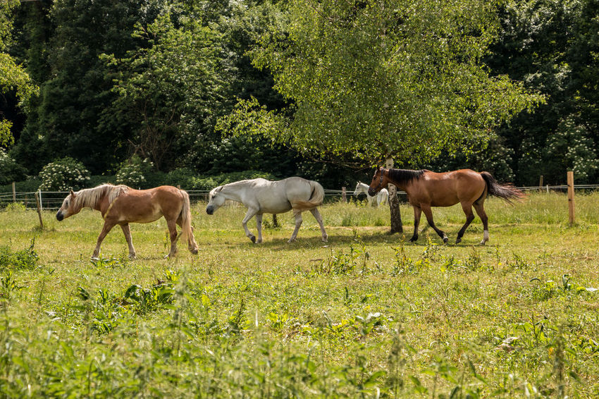 Horses on the green meadow Agriculture Animal Animal Family Animal Themes Animal Wildlife Domestic Domestic Animals Field Grass Green Color Group Of Animals Herbivorous Horse Land Livestock Mammal Nature No People Outdoors Pets Plant Tree Vertebrate