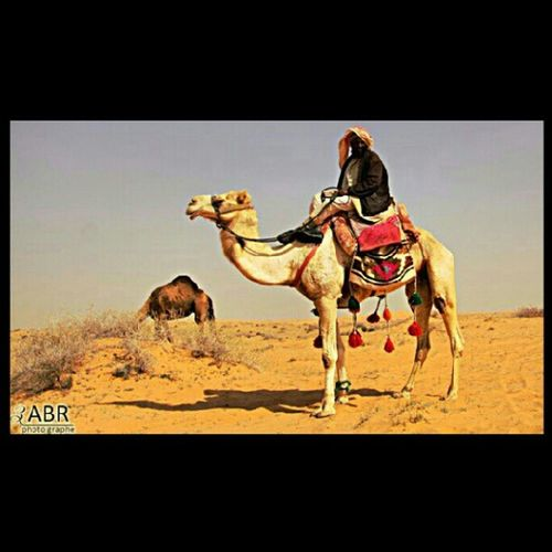 جمل رحول Camel