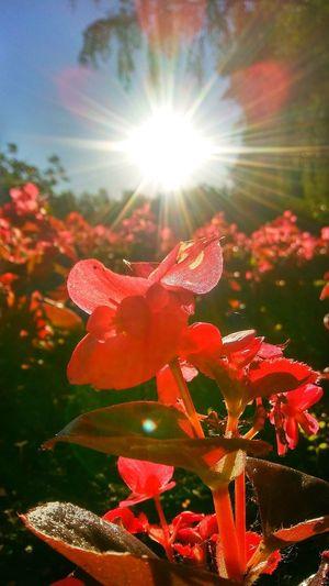 Red Color Sunlight Flower Head Flower Sunlight Lens Flare Sky Plant Close-up