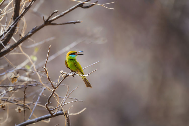 View of green bee eater