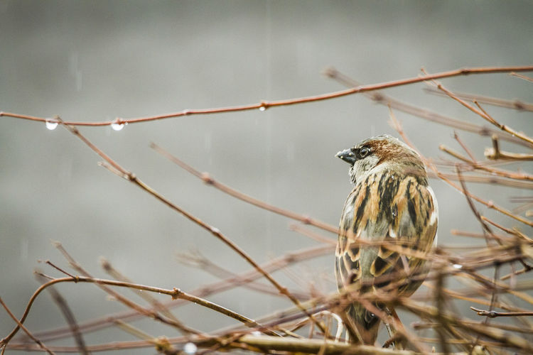 Sparrow Animal Animal Wildlife Animal Themes Animals In The Wild One Animal Bird Perching Branch Plant Tree Focus On Foreground Close-up Sparrow Selective Focus No People Nature Day Outdoors Twig