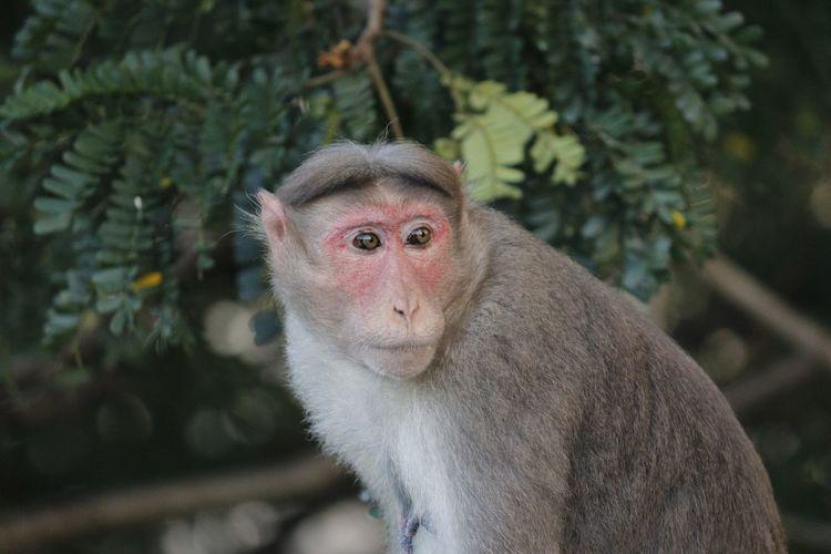 Animal Themes Animal Wildlife Animals In The Wild Day Glazingeyes Indian Mammal Monkey Monkey King Nature One Animal Outdoors