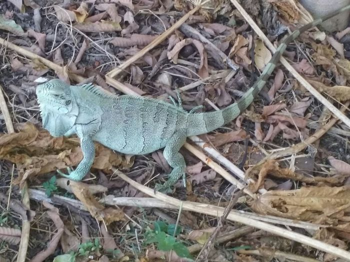 Iguana Nature_collection No Filter Reptiles Brasil Matogrosso Bicho No Quintal In My Garden