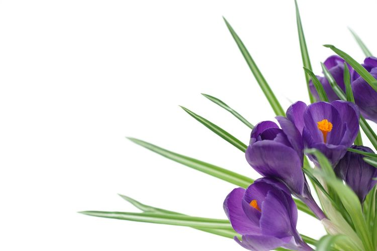 spring flowers on white Easter Close Up Crocus Spring White Cut Out Plant Flowering Plant Flower Freshness Beauty In Nature Purple Petal Flower Head Close-up Growth Nature Plant Part Vulnerability  Studio Shot No People Copy Space