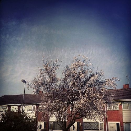 Loving this weather Nottingham Sky Blossom Tree homestreet