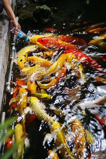 Fancy Carp. Fancy Carp Carp Yellow Red Blackandwhite Water High Angle View Outdoors Day Close-up Human Body Part One Person Animal Themes Nature