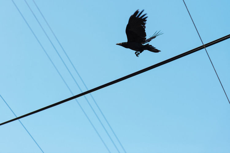 The Crow's Journey Animal Themes Animal Wildlife Animals In The Wild Bird Bird Of Prey Cable Clear Sky Day Flying Low Angle View Mid-air Nature No People One Animal Outdoors Power Line  Raven - Bird Sky Spread Wings