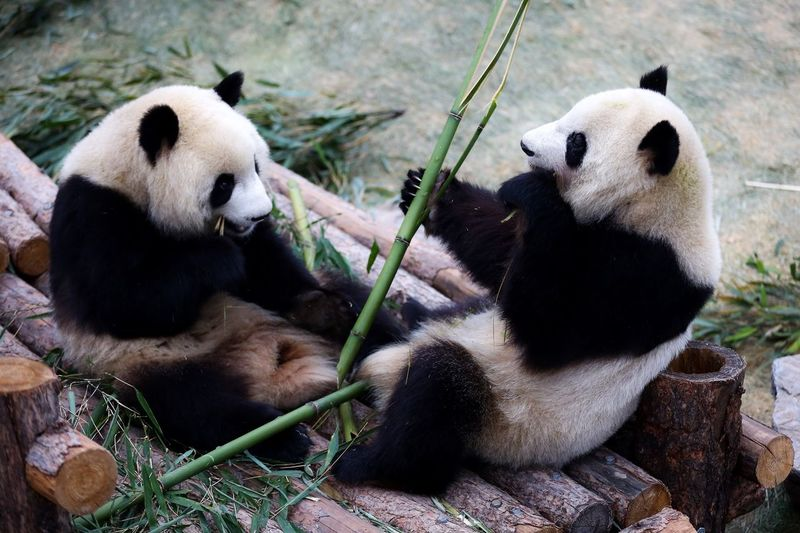 Pandas eating bamboo in zoo