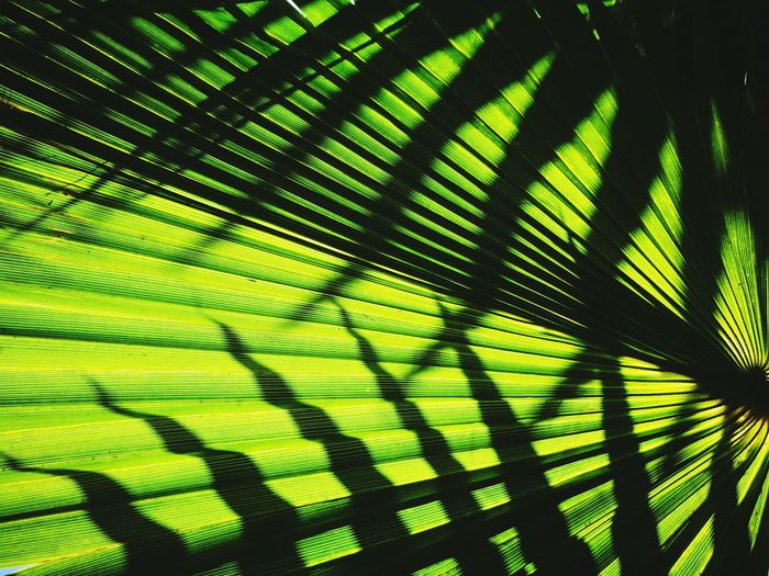 green explosion Green Color Light And Shadow Triangle Shape Lines And Shapes Summertime Contrast Tree Outdoors Canary Islands Gran Canaria Tree Leaf Close-up Green Color Palm Leaf Date Palm Tree Leaf Vein Palm Tree Natural Pattern Full Frame Leaves Tropical Tree Capture Tomorrow