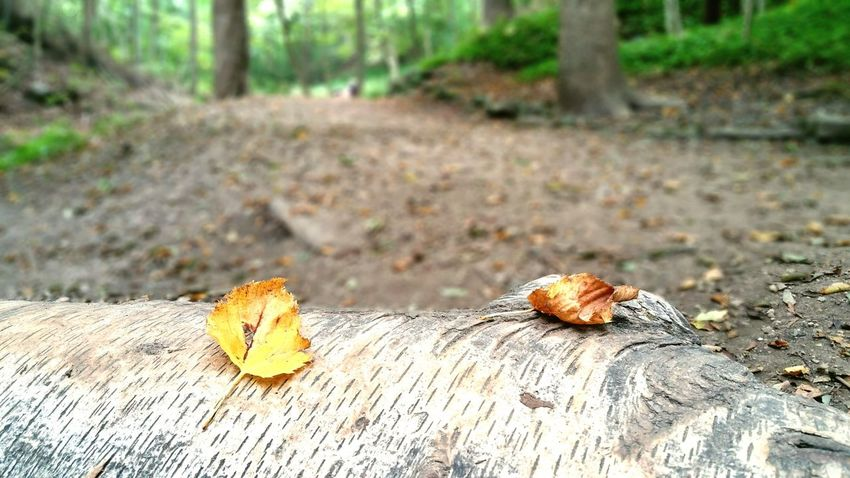 EyeEm Selects Nature Outdoors Day Forest No People Tree Stump Tree Leaf Close-up Beauty In Nature Focus On Foreground Birch Tree
