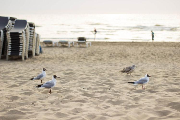Black-Headed Gulls At Sandy Beach