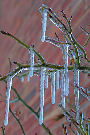 Icicles Beauty