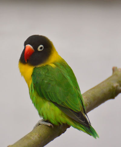 Agapornis personatus Agapornis Schwarzköpfchen Unzertrennlich Agaporni Animal Themes Animal Wildlife Animals In The Wild Bird Lovebird Nature Outdoors Parrot