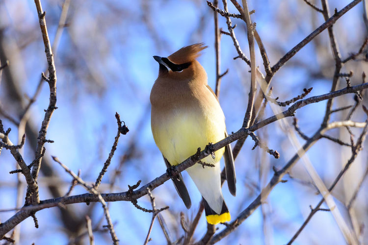 Animal Wildlife Animals In The Wild Beauty In Nature Bird Bird Perched Bird Perching Branches Cedar Waxwing Cedar Waxwing Perche Colorful Bird Day First Eyeem Photo Jaseur D'amérique Nature Oiseaux One Animal Outdoors Perching Tree Wild Wild Animal Wild Birds Wildlife