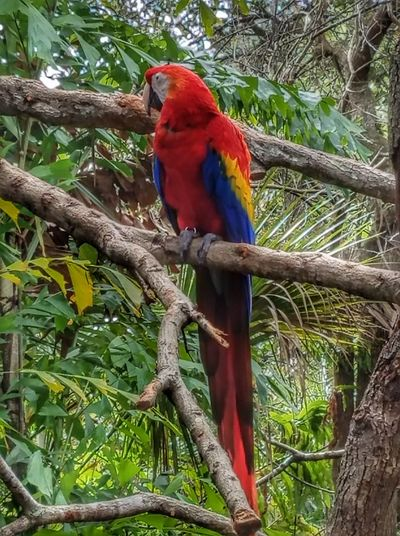 Animal Themes Bird Perching Parrot Tree Scarlet Macaw Nature Branch Animals In The Wild Macaw Animal Wildlife One Animal Beauty In Nature No People Day Outdoors Close-up No Location Needed