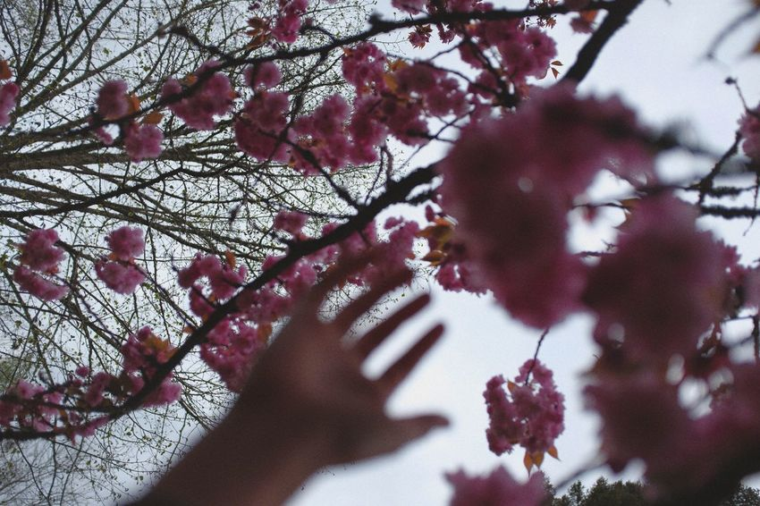 Beauty In Nature Close-up Flower Head Human Hand Nature Pink Color Tree