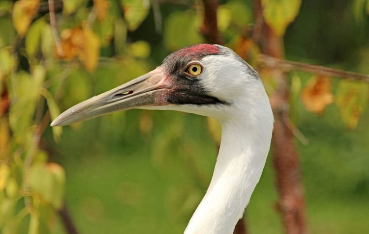 Whooping Cranes Bird Photography bird Bird Collection Endangered Species Rare Find Looking At Camera Colour Of Life