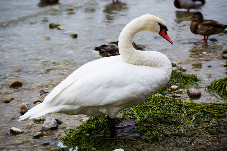 Animal Animal Neck Animal Themes Animal Wildlife Animals In The Wild Beauty In Nature Bird Day Floating On Water Focus On Foreground Group Of Animals Lake Nature No People Swan Vertebrate Water Water Bird White Color Zoology