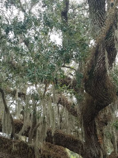 Live Oak Tree Spanish Moss Florida Life No People Low Angle View Tree Nature Outdoors Full Frame No Filter