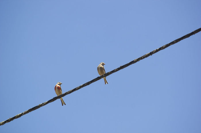 Animal Themes Animal Wildlife Bird Blue Cannabina Carduelis Clear Sky Coordinate Couple Day Low Angle View Nature Outdoors Perching Winter