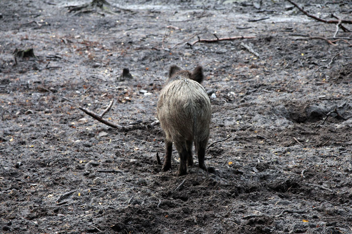 Pork Animal Animal Themes Animal Wildlife Animals In The Wild Day Field Frischling Full Length Land Mammal Nature No People One Animal Outdoors Pets Pig Standing Vertebrate Walking Wild Boar Zoology