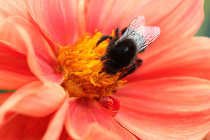 Hummel Blume Blumenpracht🌺🍃 Abejorro Flor 🇩🇪Germany ❤️Dortmund Flower Head Flower Petal Pink Color Insect Bee Close-up Animal Themes Plant Bumblebee Pollen