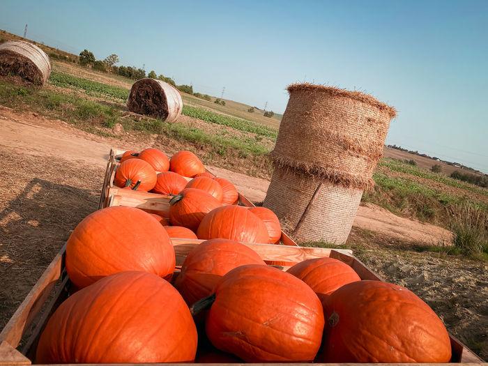Pumpkins on field against clear sky