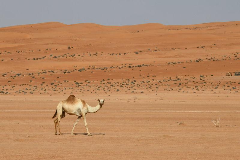Full length of camel walking in desert against sand dunes