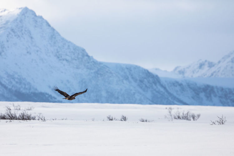 Bird flying by snow covered mountain against sky