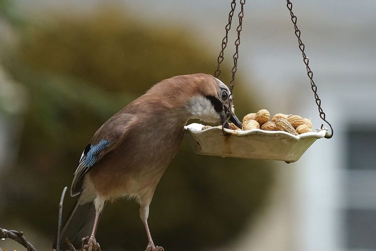 Close-up of eurasian jay feeding on peanuts from hanging plate