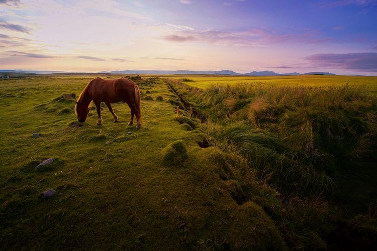 Icelandic horse The Week on EyeEm EyeEm Best Shots Sky Mammal Animal Animal Themes Domestic Animals Domestic Livestock Pets One Animal Beauty In Nature Landscape Nature