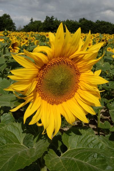 Beauty In Nature Close-up Field Flower Flower Head Nature Summer Sunflower Vibrant Color Yellow