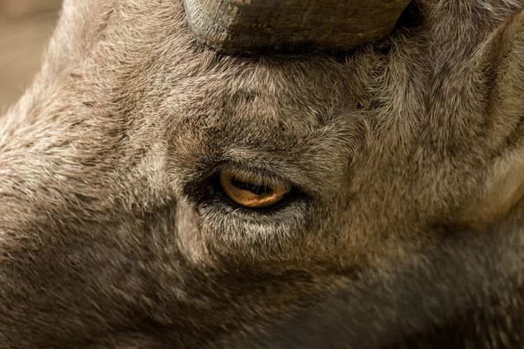 Closeup - Head of a goat with soft bokeh Animal Animal Body Part Animal Eye Animal Hair Animal Head  Animal Nose Animal Themes Animal Wildlife Animals In The Wild Close-up Domestic Domestic Animals Eye Hair Herbivorous Looking At Camera Mammal No People One Animal Pets Portrait Vertebrate