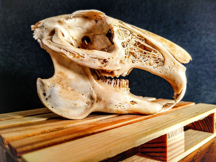 Close-Up Of Rabbit Skull On Wood