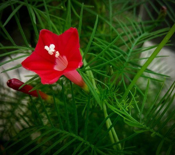 Red flow Flower