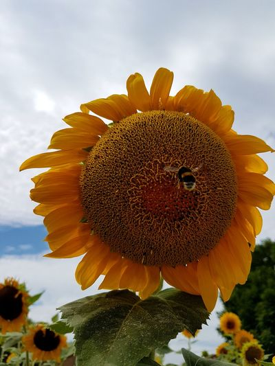 Flower Nature Macro Plant Fragility Close-up Sky Flower Head No People Yellow Beauty In Nature Growth Outdoors Closing Day Freshness Tranquility Rural Scene Sunflowers