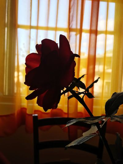 Redroses Window Indoors  Flower Fragility Nature Passion Photography Photographer Chiaroscuro