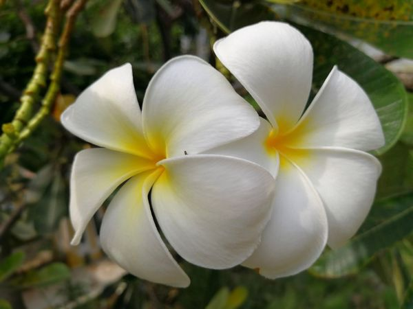 Beauty In Nature Blooming Close-up Day Flower Flower Head Fragility Frangipani Freshness Growth Nature No People Outdoors Petal Plant White Color
