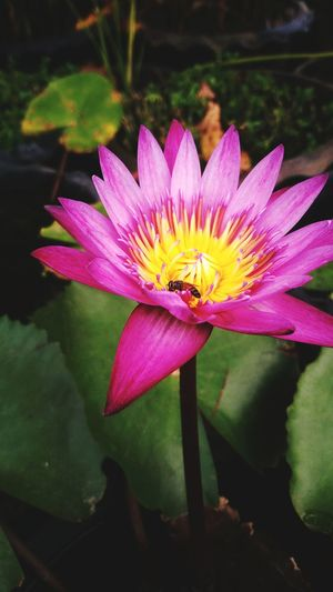 Flowers, Nature And Beauty Petal Freshness Floating On Water Lotus Water Lily First Eyeem Photo
