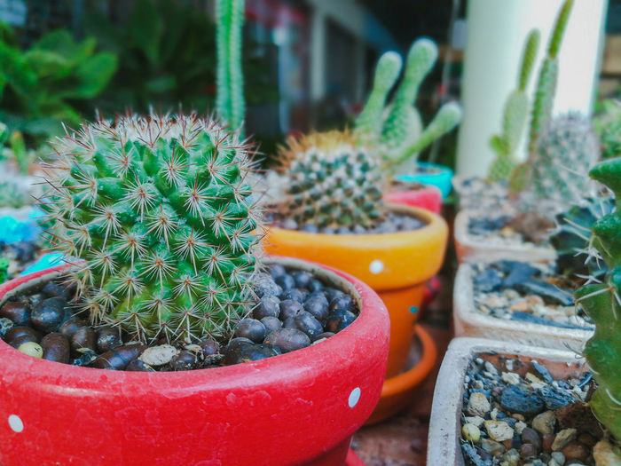 Close-up of cactus growing in potted plant