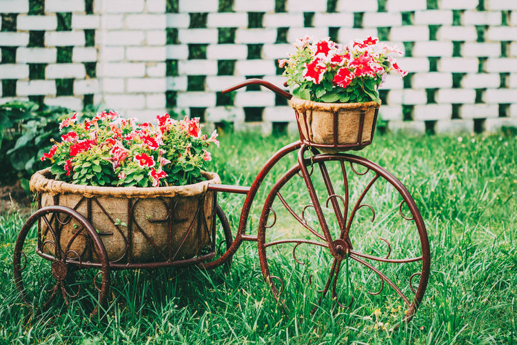 Decorative Vintage Model Old Bicycle Equipped Basket Flowers Garden. Toned Photo. Flower Bed Basket Beautiful Bicycle Bike Blossom Bright Colorful Day Decoration Flora Floral Flower Flower-bed Garden Garden Design Grass Green Herbs Model Nature Park Petunia Plant Purple Red Retro Spring STAND Summer Toned Vintage