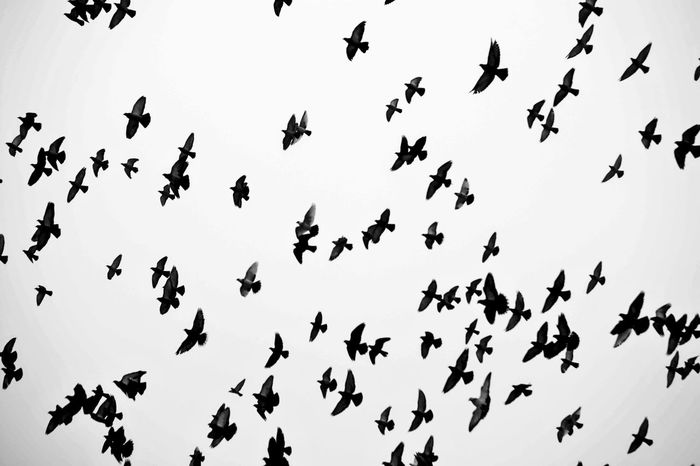 Motion Nature Flying Sky Bird Day Outdoors Clear Sky Flock Of Birds Togetherness No People Mid-air Animals In The Wild Spread Wings Low Angle View Animal Themes Animal Wildlife Large Group Of Animals Comacchiocity Animal Vertebrate Group Of Animals Silhouette