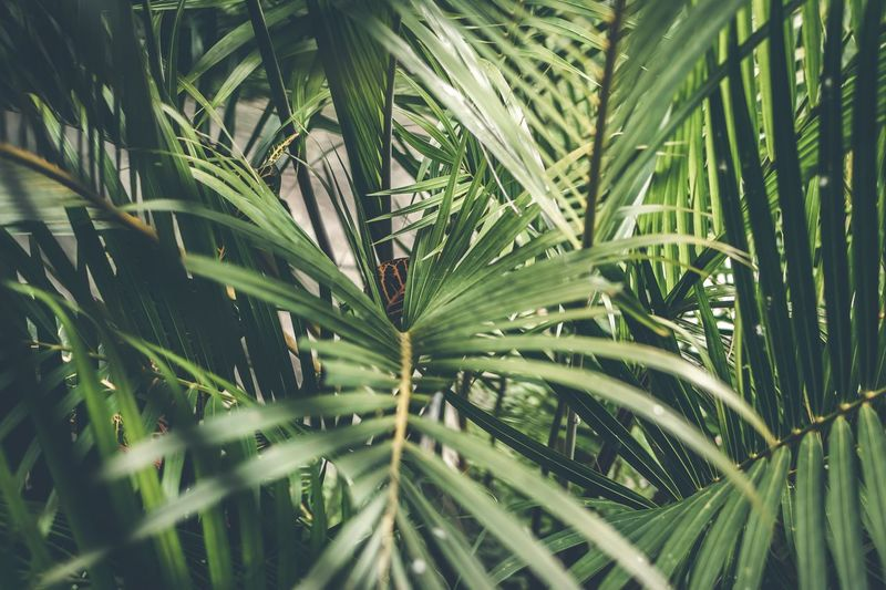 Tropical leaf background Bali Bali, Indonesia Growth Plant Leaf Plant Part Green Color Beauty In Nature Tree Nature No People Close-up Day Tranquility Palm Tree Tropical Climate Outdoors Palm Leaf Freshness Water Drop Land