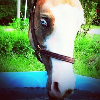 Mid afternoon drink Horses Equus Palomino Paint Gelding