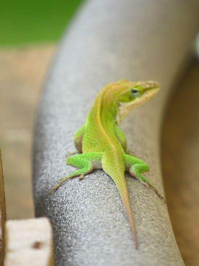 styling lizard