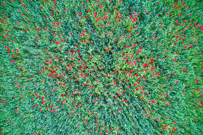 Wheat and poppies field seen from a drone Drone  Drone Photography Wheat Field Poppies  Poppies Field Red Color Green Color Agriculture From Above  High Angle View Serene Peaceful Abstract Earth Plant Backgrounds Red Full Frame No People Growth Nature Freshness Flower Beauty In Nature Flowering Plant Close-up Outdoors Day Multi Colored Land Fragility