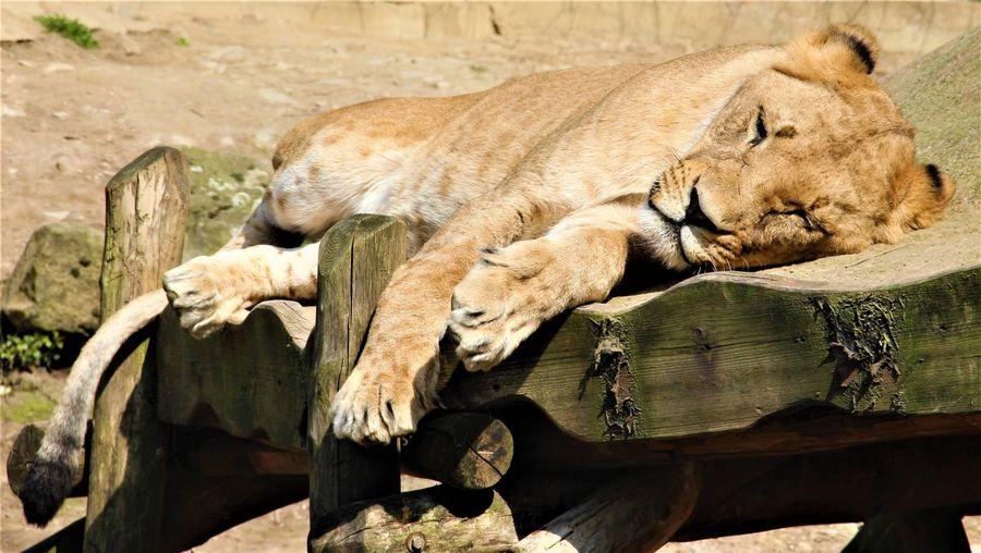 EyeEmNewHere Zoo Zoo Osnabrück Cat Feline Lion - Feline Lioness Lioness Portrait
